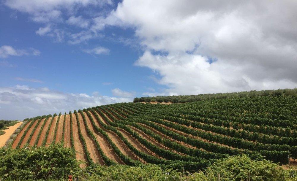 Vineyards.jpeg