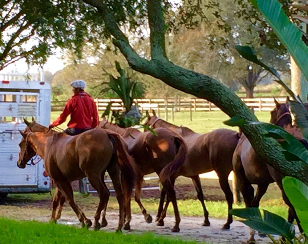 Exercising Horses