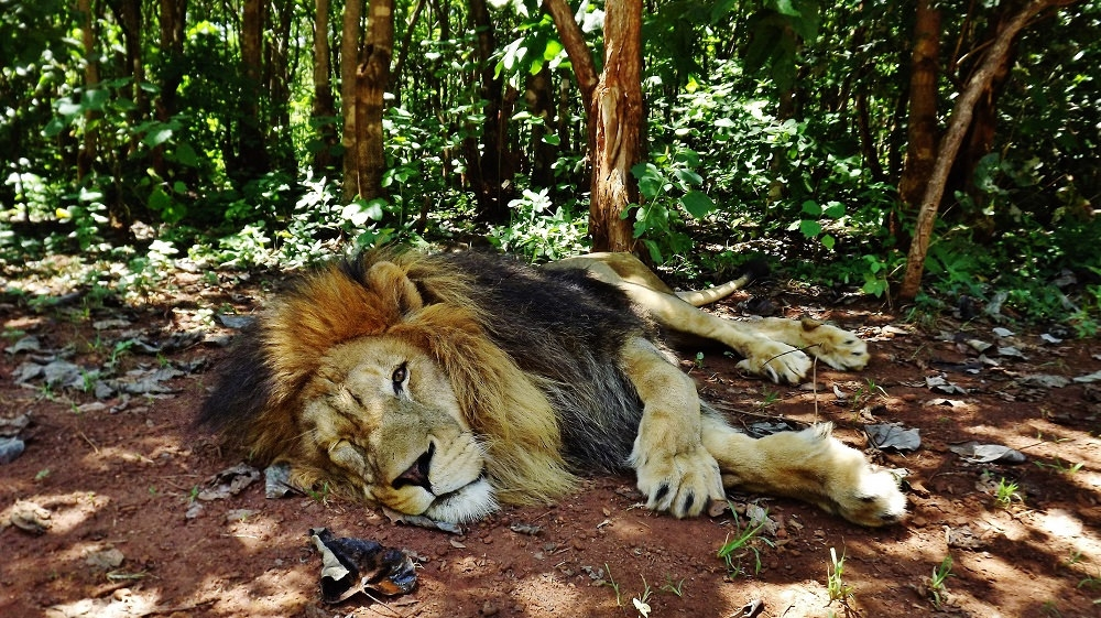 Simba the lion lounging at his home,  Lilongwe Wildlife Trust , which is the only accredited wildlife sanctuary in Malawi.   In addition to serving as a sanctuary for many animals who cannot be released back into the wild, Lilongwe has a rescue and rehabilitation unit,  an emergency wildlife response unit, and leads clinical interventions and veterinary research through their program One Health. They are very transparent in everything they do, and provide annual impact reports.