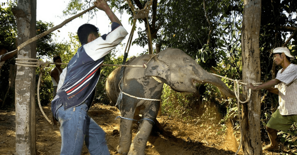 It's not easy to look at, but this is the training process many elephants endure so that they will defer to humans.  Is this worth your elephant ride?