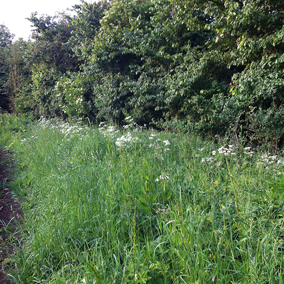 The hedge marking the field boundary: down behind it the Jubilee Wood stream.