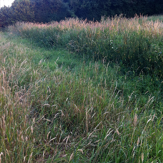 The bed of the Biddestone Manor stream– full of grass.