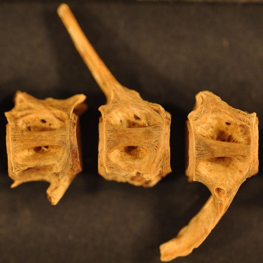 600 year old fish bones from the archaeological site of Vumba Kuu, Kenya