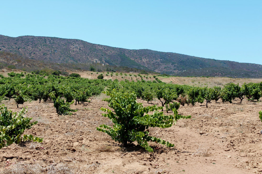 The 69 year old vineyard of mystery grapevines in Baja, Mexico