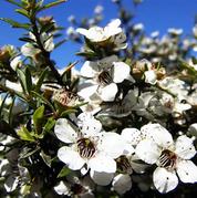 Rameka Manuka Flowers