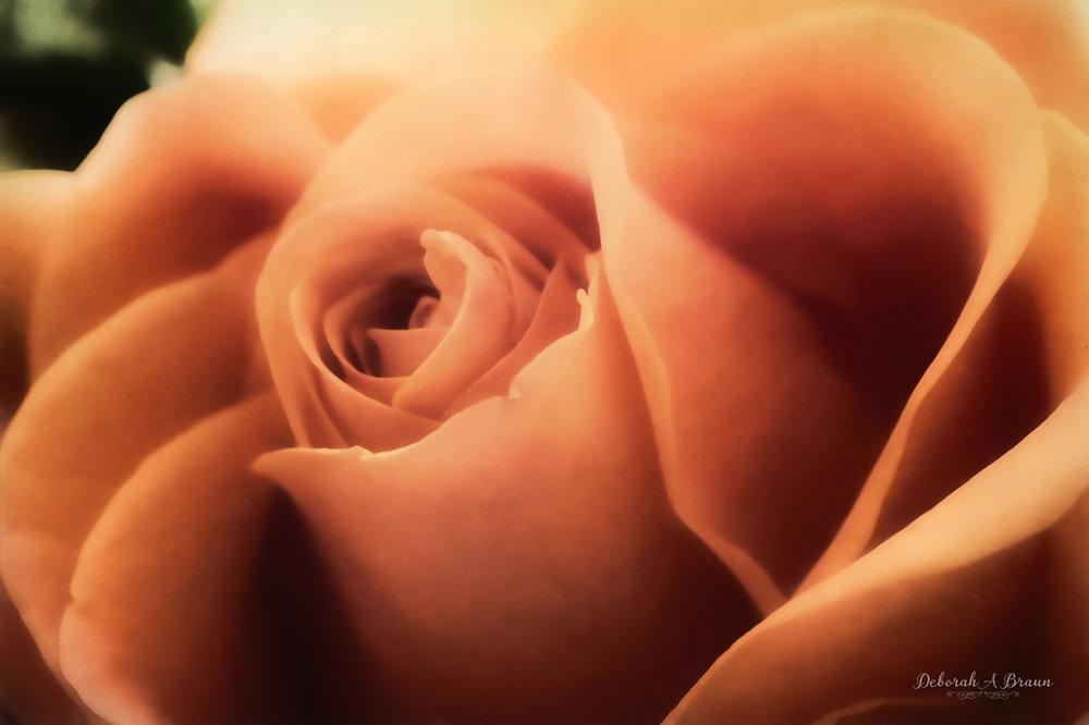 Coral Rose 1.jpg