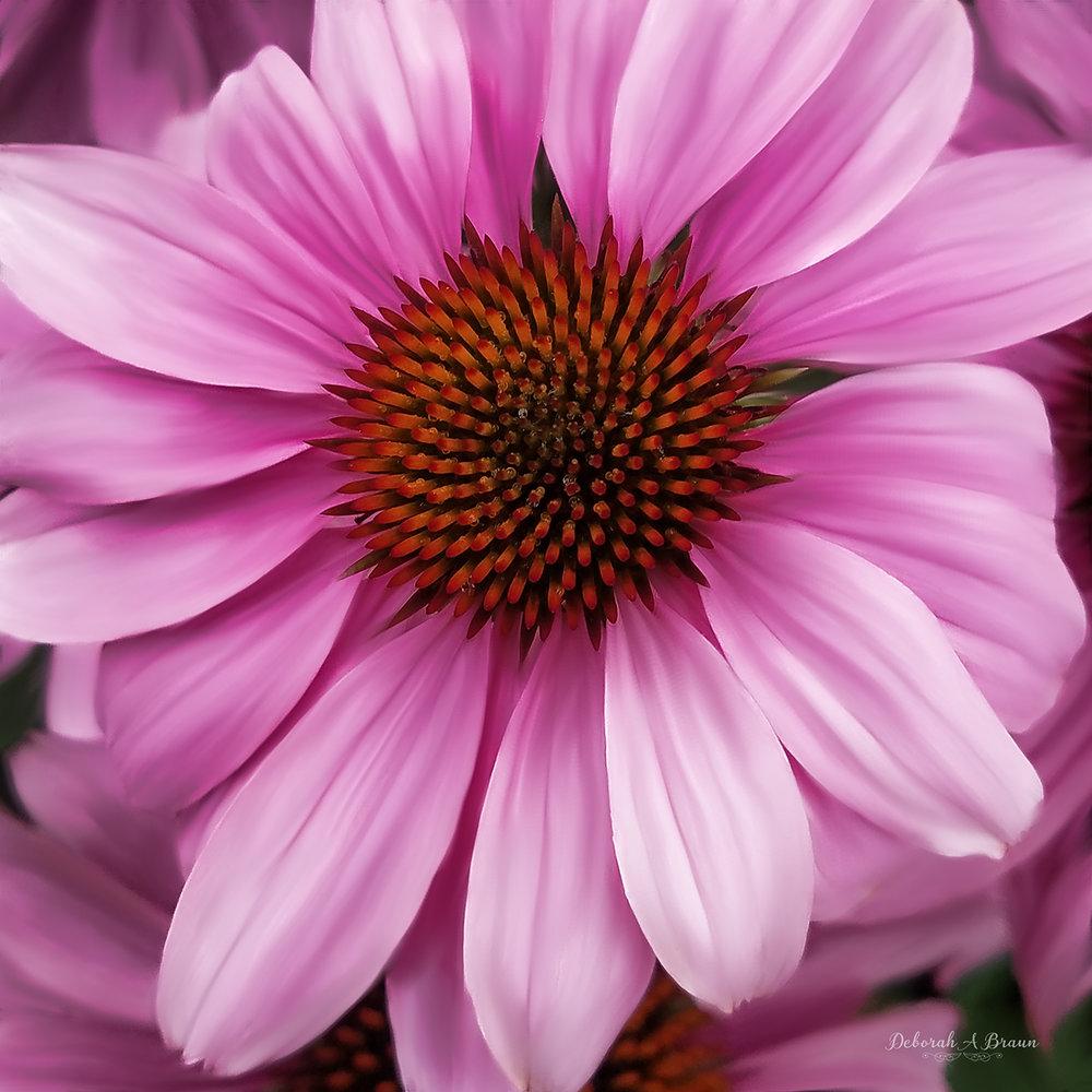 Pink Cone Flower.jpg