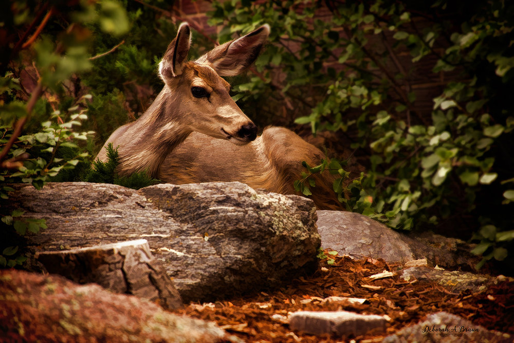 Deer Estes Park.jpg