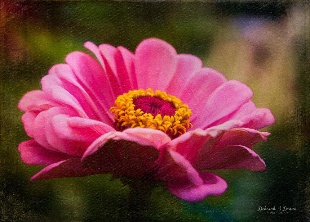 Pink Zinnia.jpg