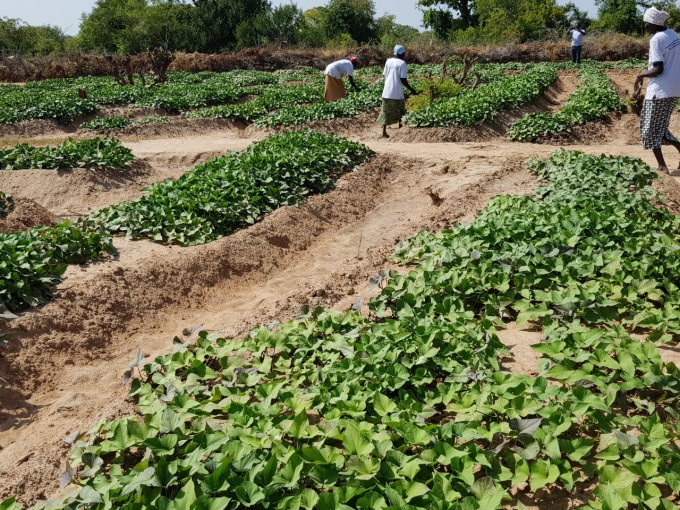 Picture 7 Another demonstration plot in Aweil east supported by the project.jpg