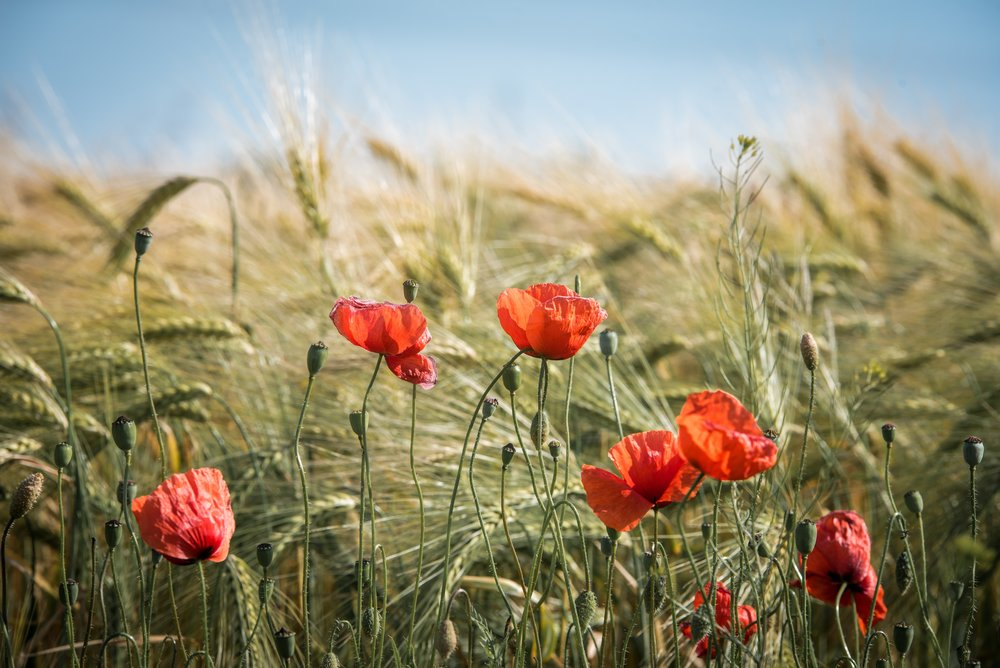 agriculture-barley-bloom-461284.jpg