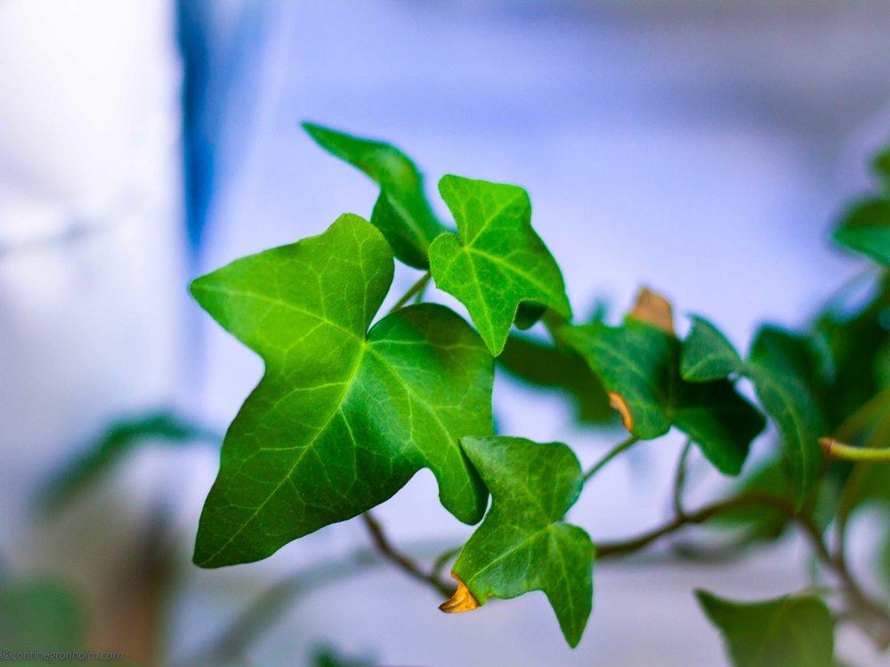 Någon jag gärna skulle tagit med var min vackra murgröna som blivit så stor och fin. Tyvärr dog den av uttorkning under jullovet när jag var på semester så det kändes riktigt trist. Som tur kan man plantera nya!