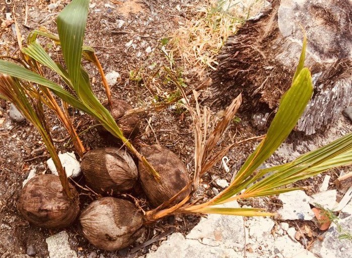 Care of a coconutpalm tree -