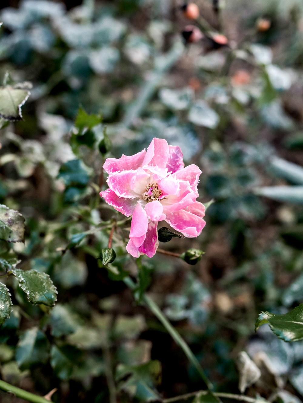 rose nature city Warsaw mindfulness enjoy relax moment photography