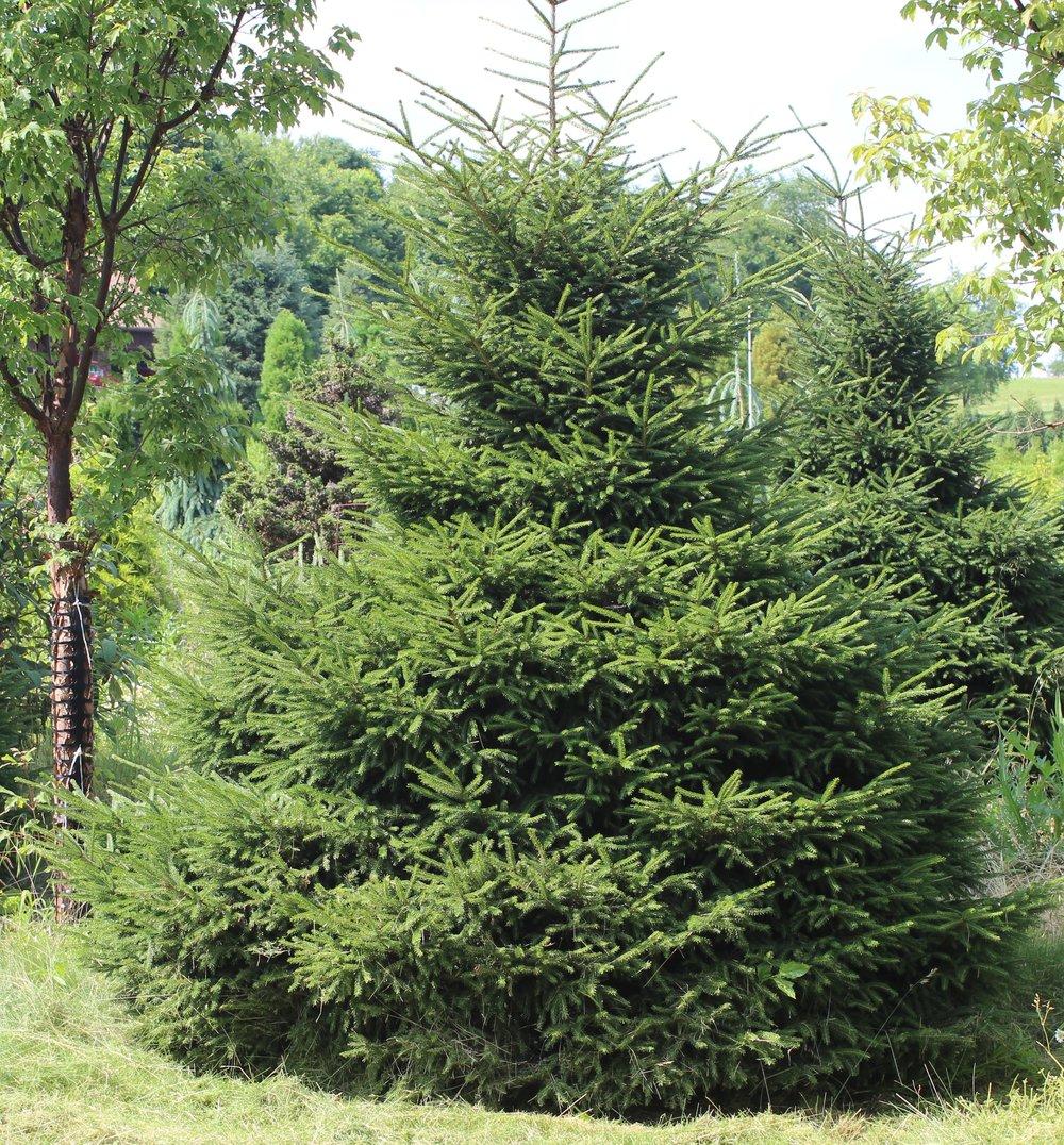 Picea Orientalis Nigra Compacta