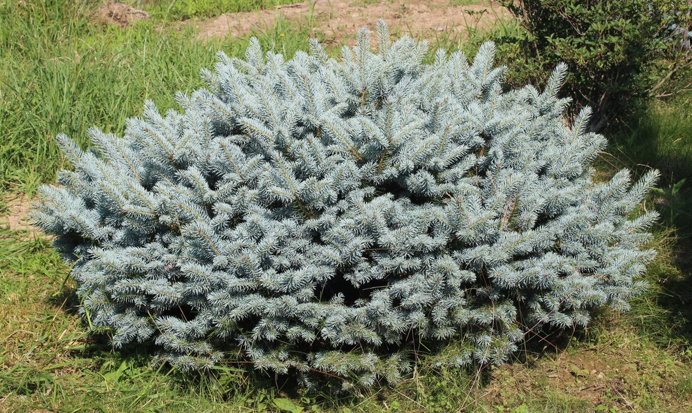 Picea Pungens R H Montgomery
