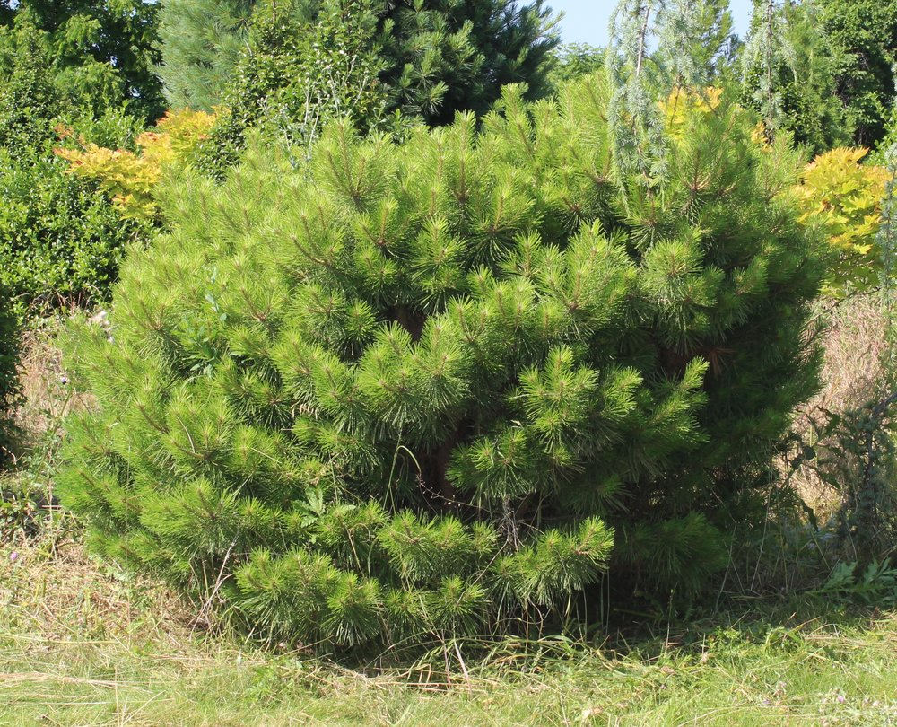 Pinus Den Jane Kluis