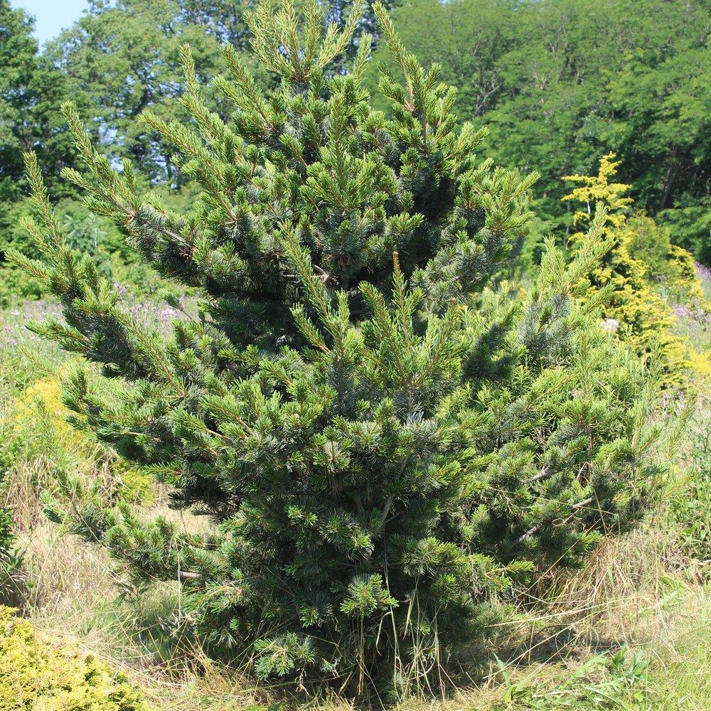 Pinus Parviflora Gimborn Pyramid