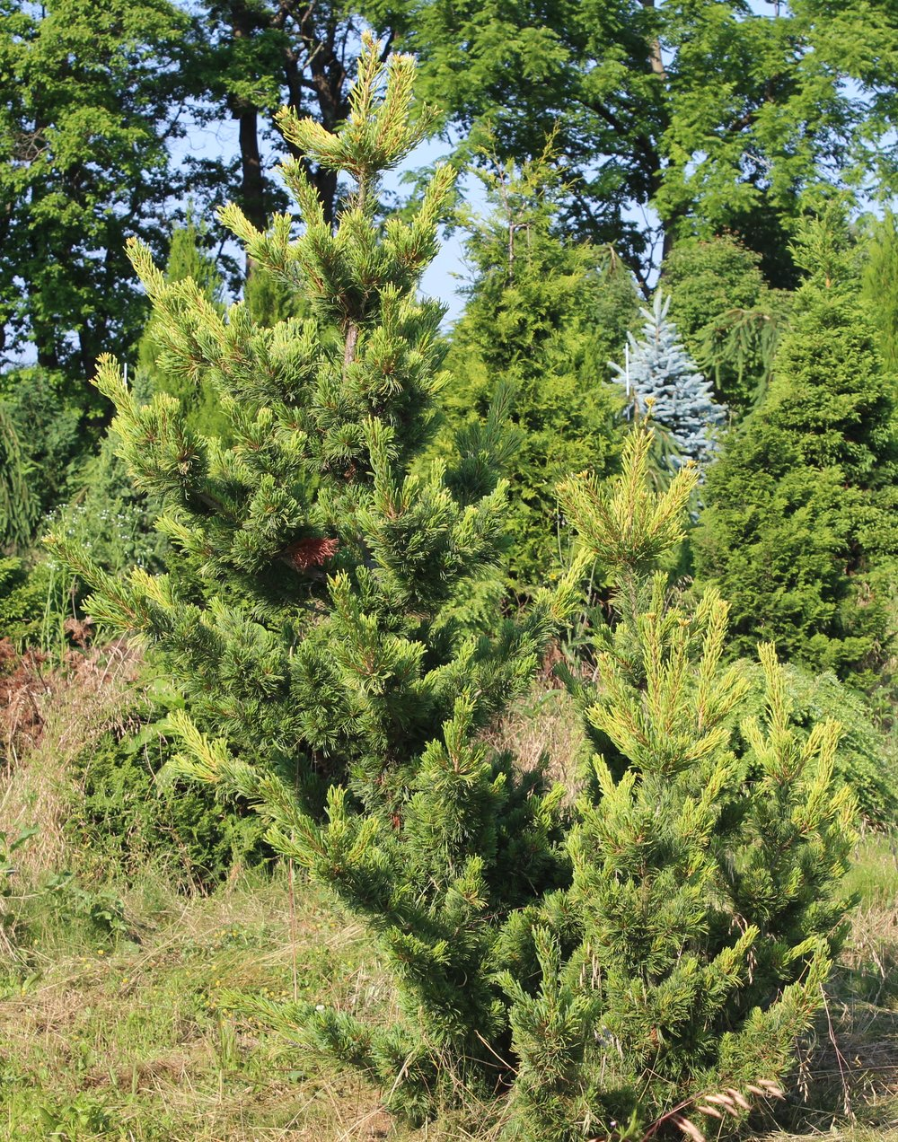 Pinus Parviflora Goldilocks
