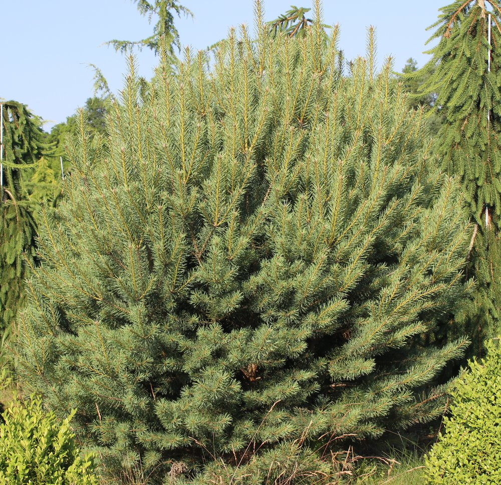 Pinus Syl Pumila