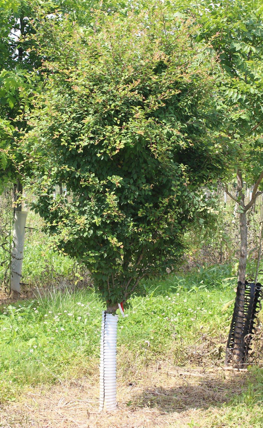 Prunus Insularis Little Twist