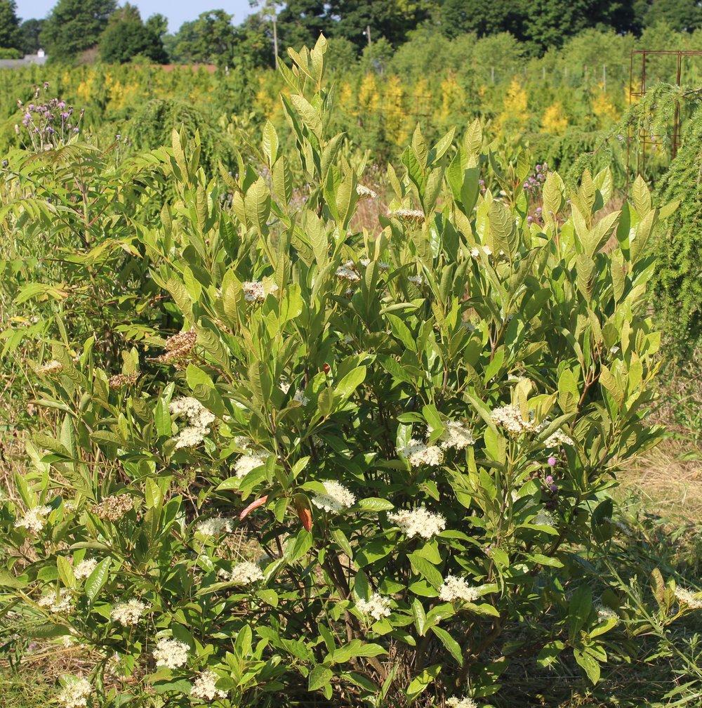 Viburnum Nudum Brandywine