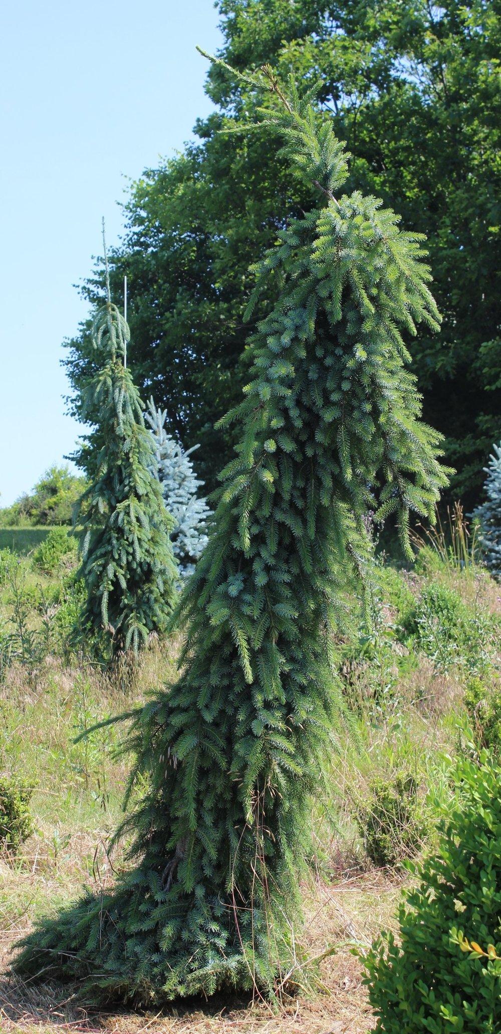 Picea Omorika Bruns Pendula