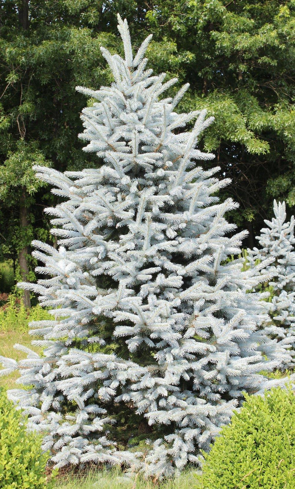 Picea Pungens Hoospii