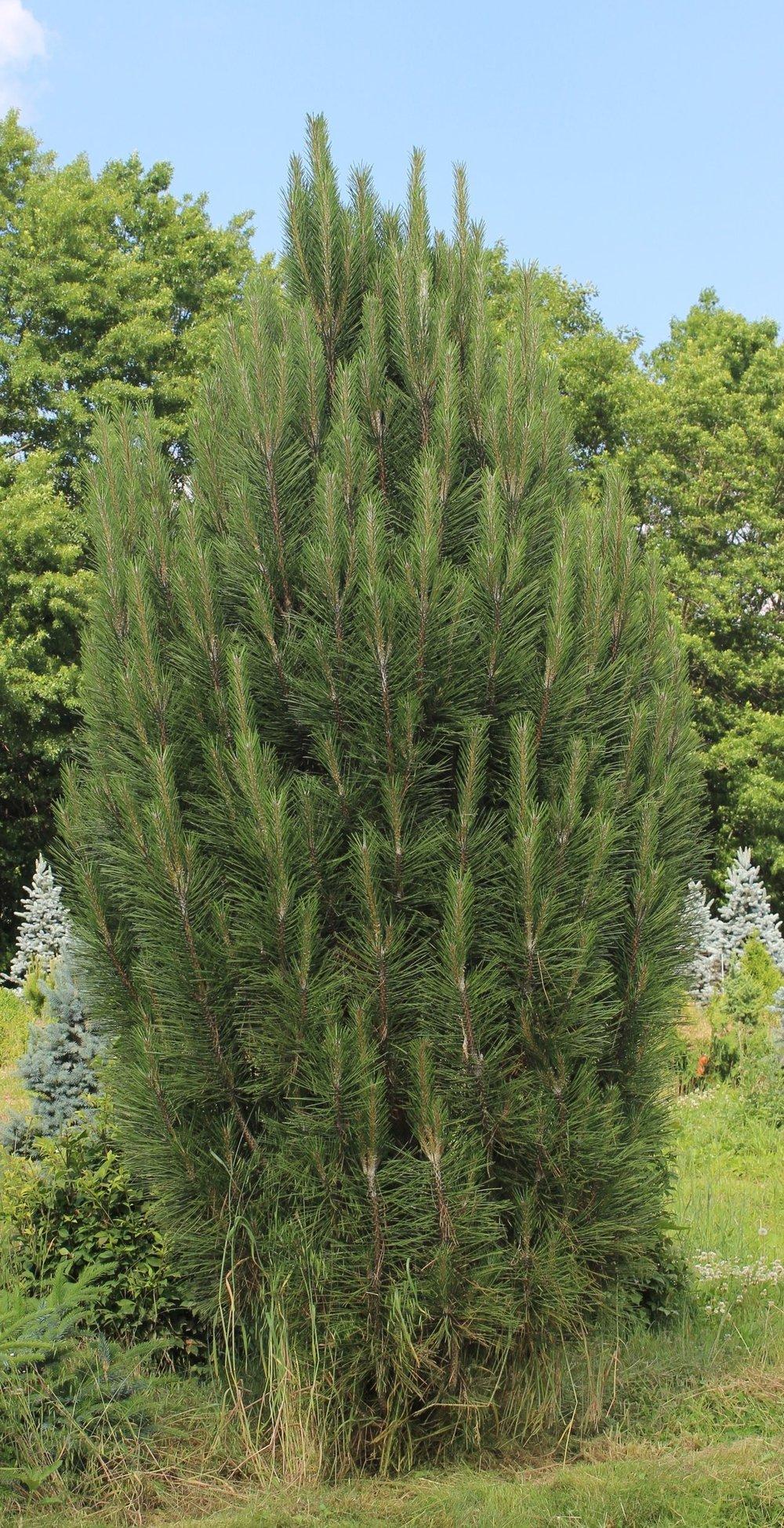 Pinus Nigra Arnolds Sentinel