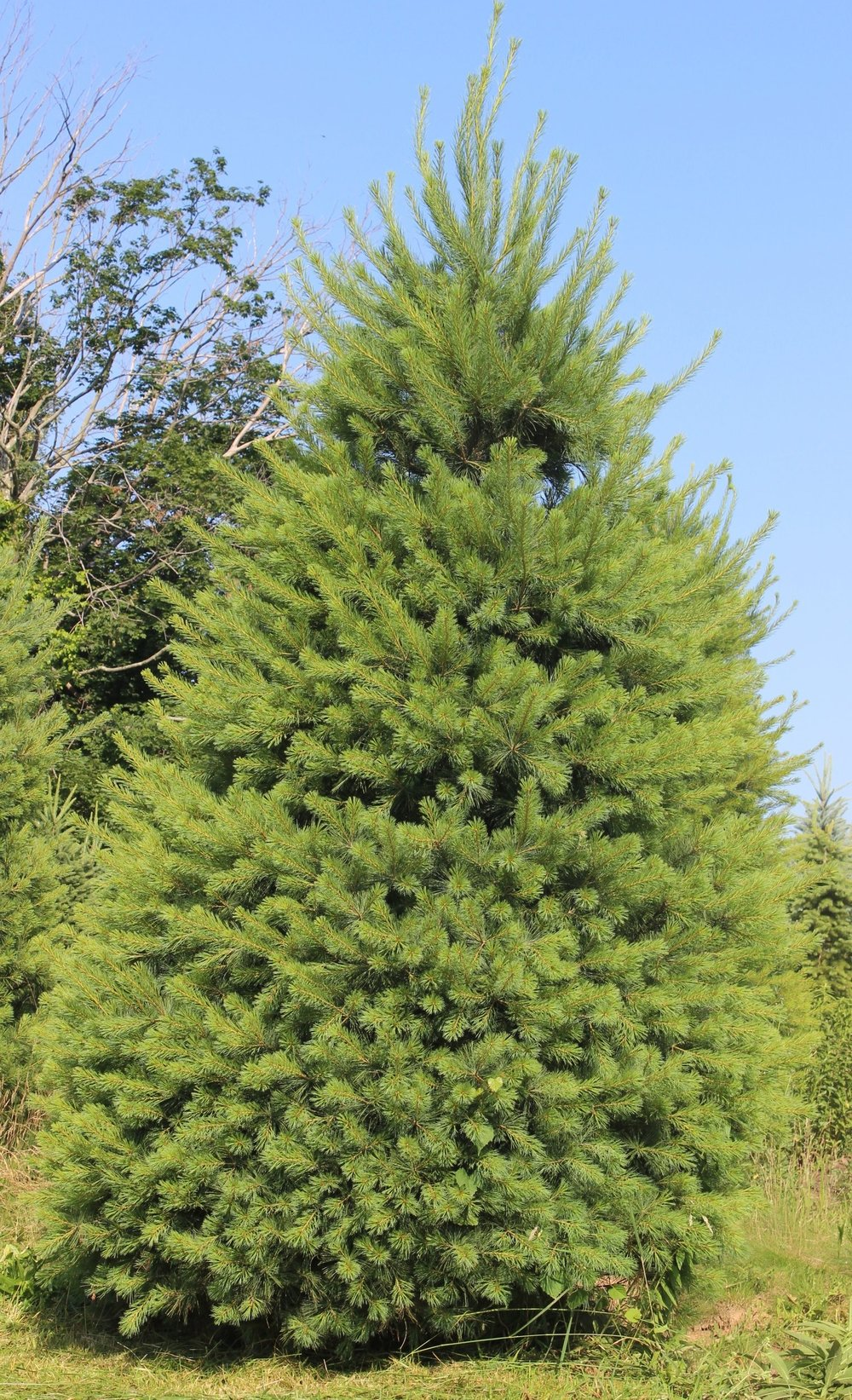 Pinus Strobus Nana