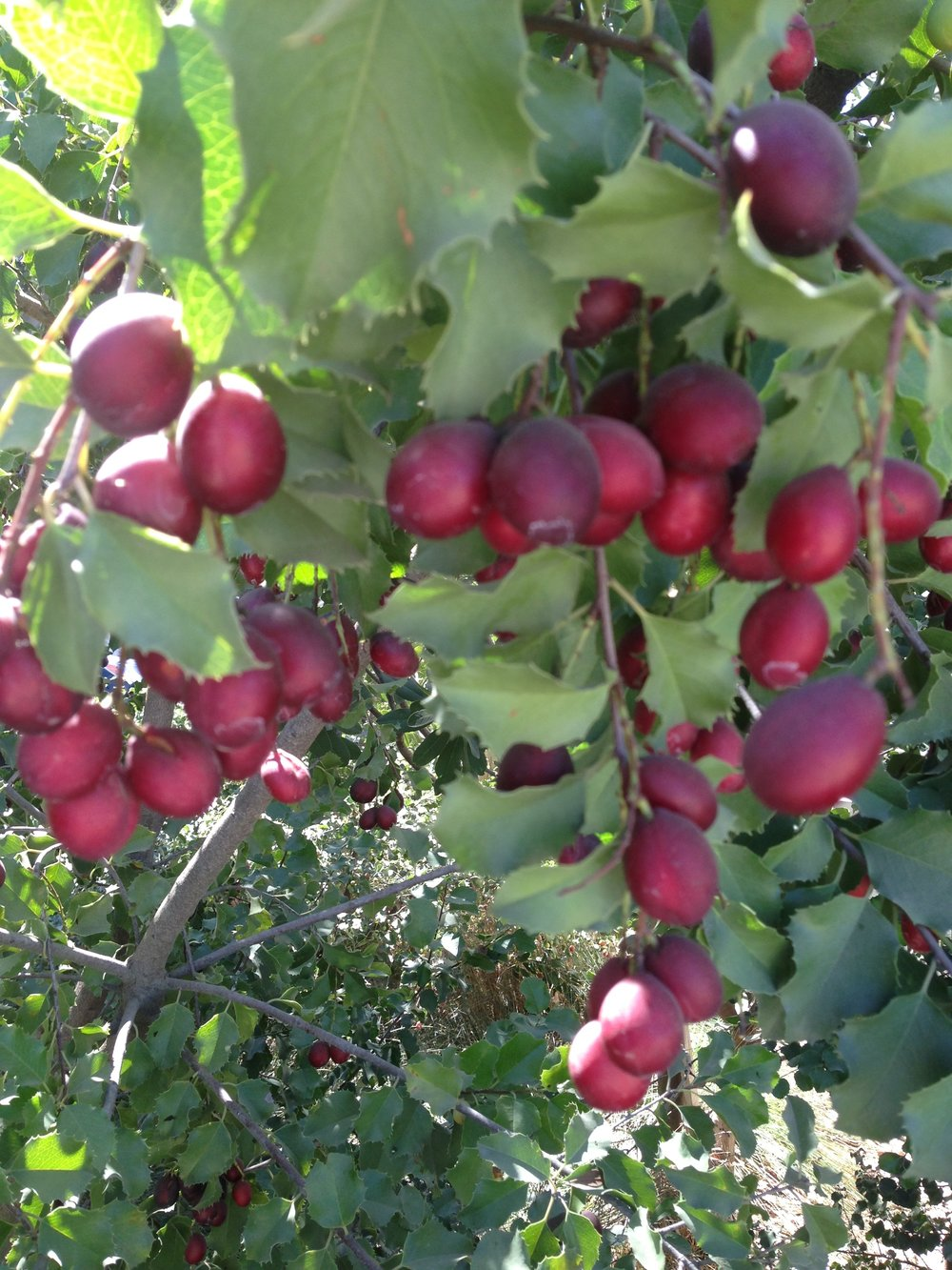Catalina Cherries