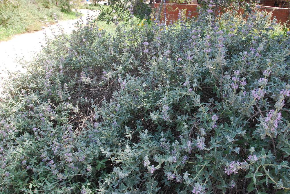 California Sage
