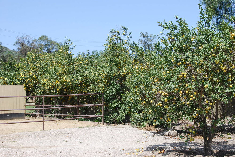Lemon Grove Behind Bay Laurel Barn