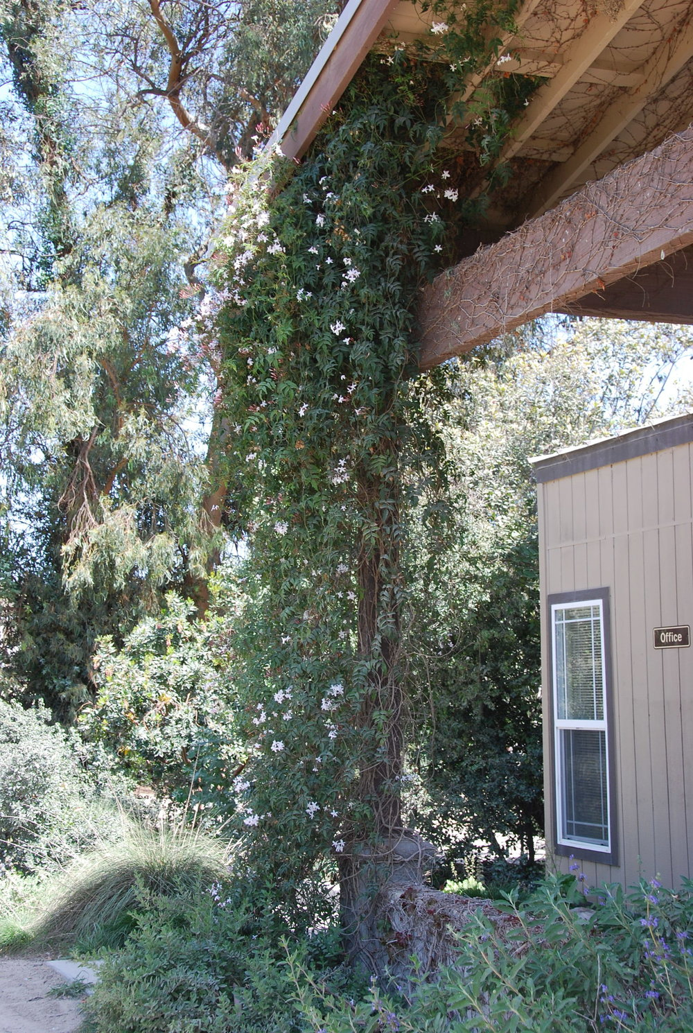 Jasmine blooming by the Spirit Office