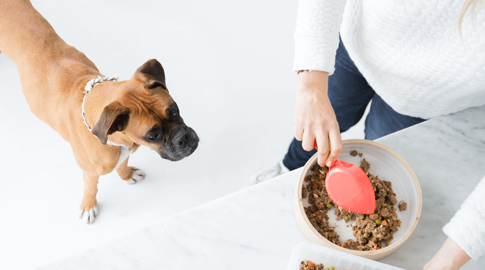 Curious dog looking at Ollie dog food in bowl