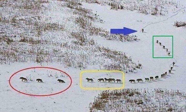 Wolves walking down a path.jpeg