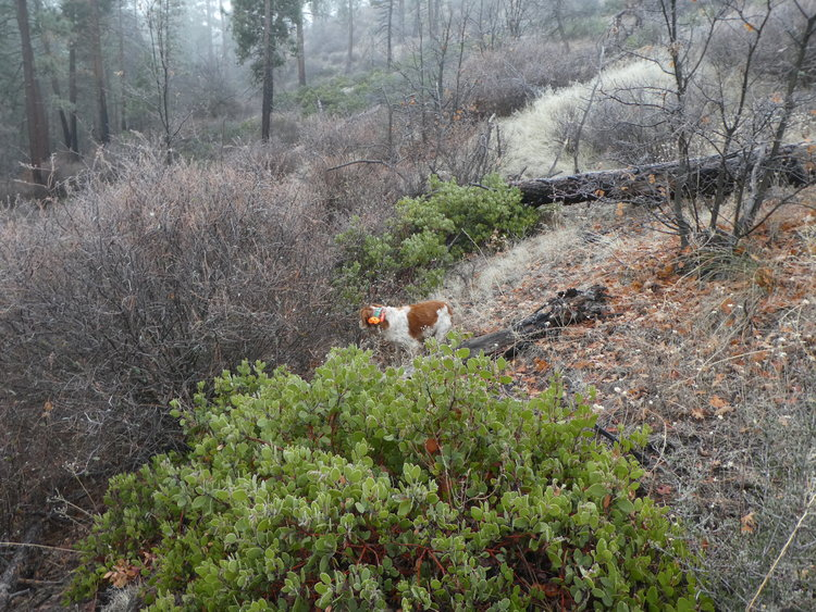 Mountain quail cover is steep, but its not uniformly thick. Just where the birds are.