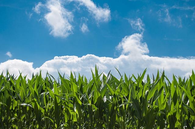 corn-and-blue-sky.jpg