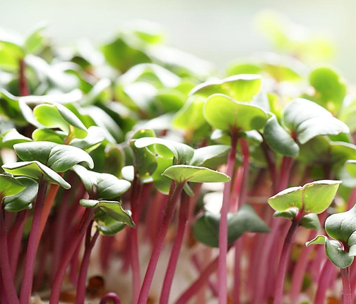 Microgreens.Radish.WC_.jpg
