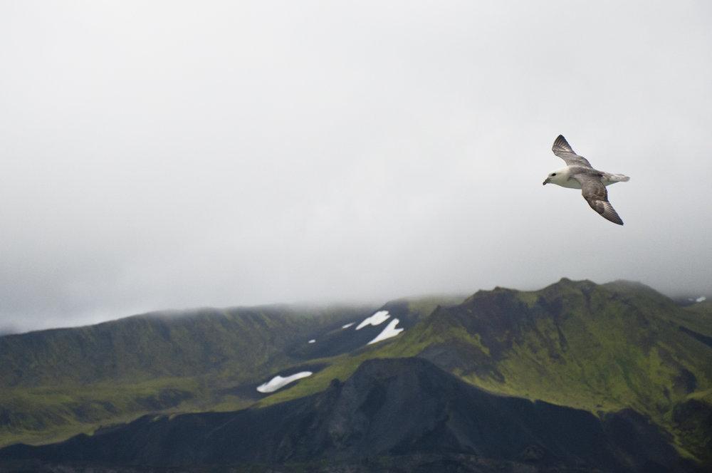 Northern Fulmar —Jan Mayen