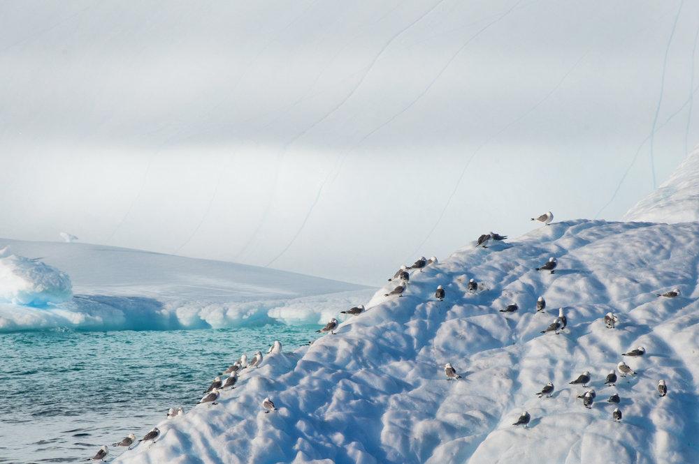 Kittiwakes on Iceberg