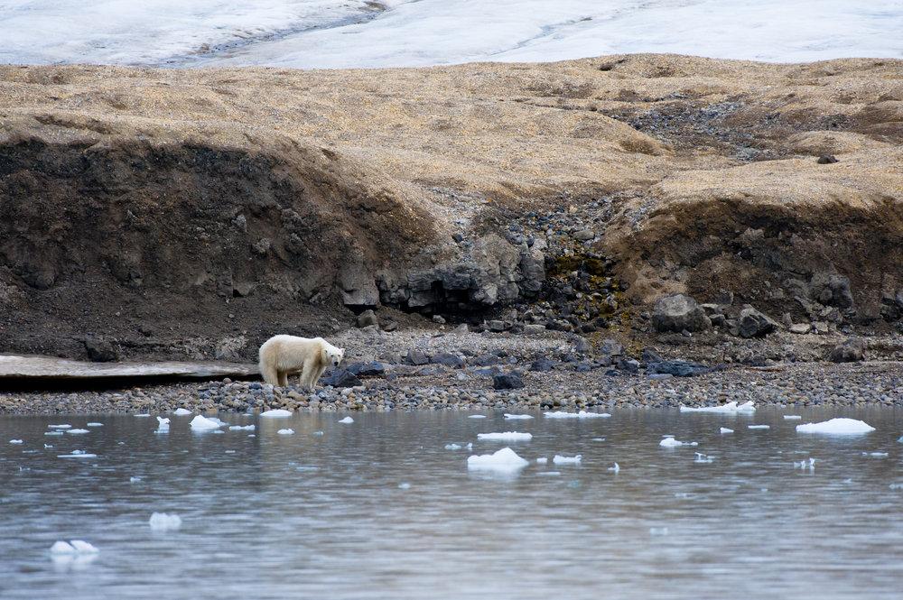 Polar Bear — Palanderbukta, Svalbard