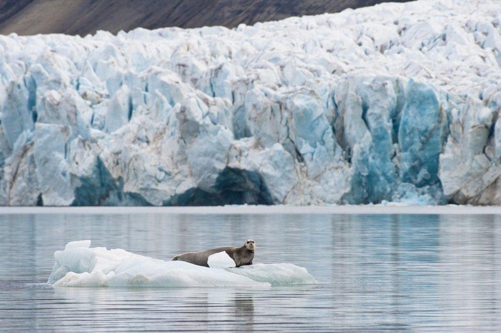 Bearded Seal —Palanderbukta