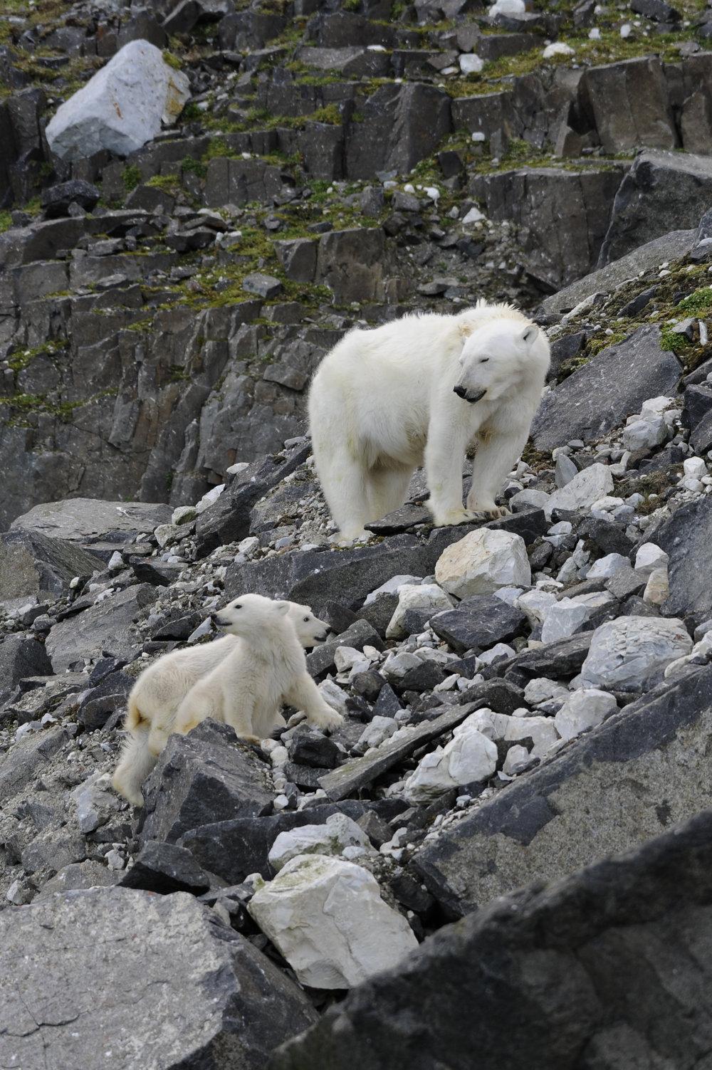 Polar Bear Mom & Cubs —Alkefjellet, Svalbard