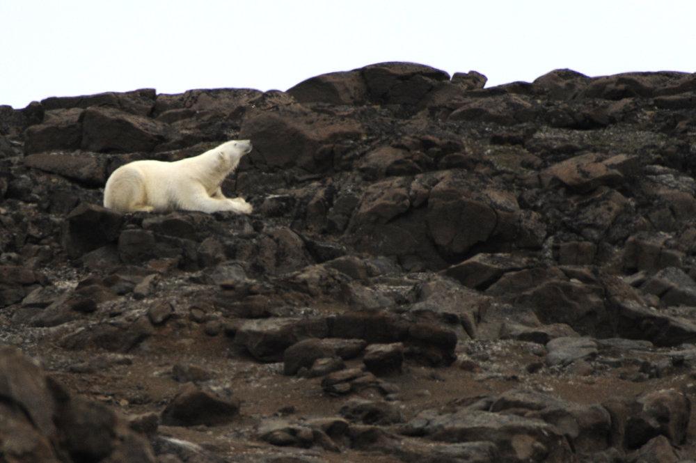 Polar Bear —Bjorn Øya