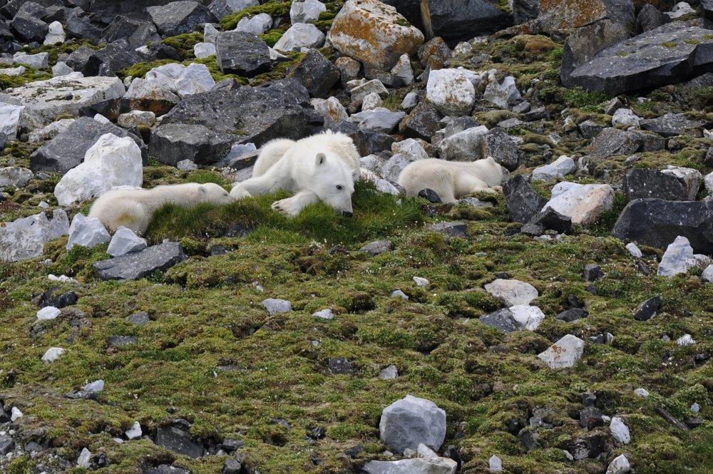 Polar Bear Mother & Cubs, Alkefjellet Svalbard