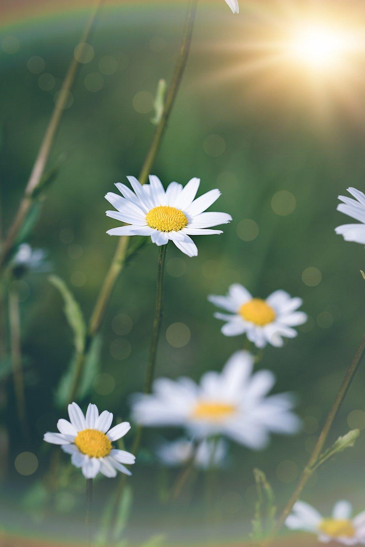 Mountain daisy.jpg