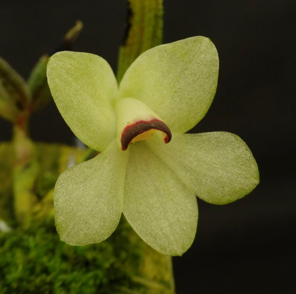 "Dendrobium cuthbertsonii , ""yellow"" form, ex-Malaysian nursery (RP)"