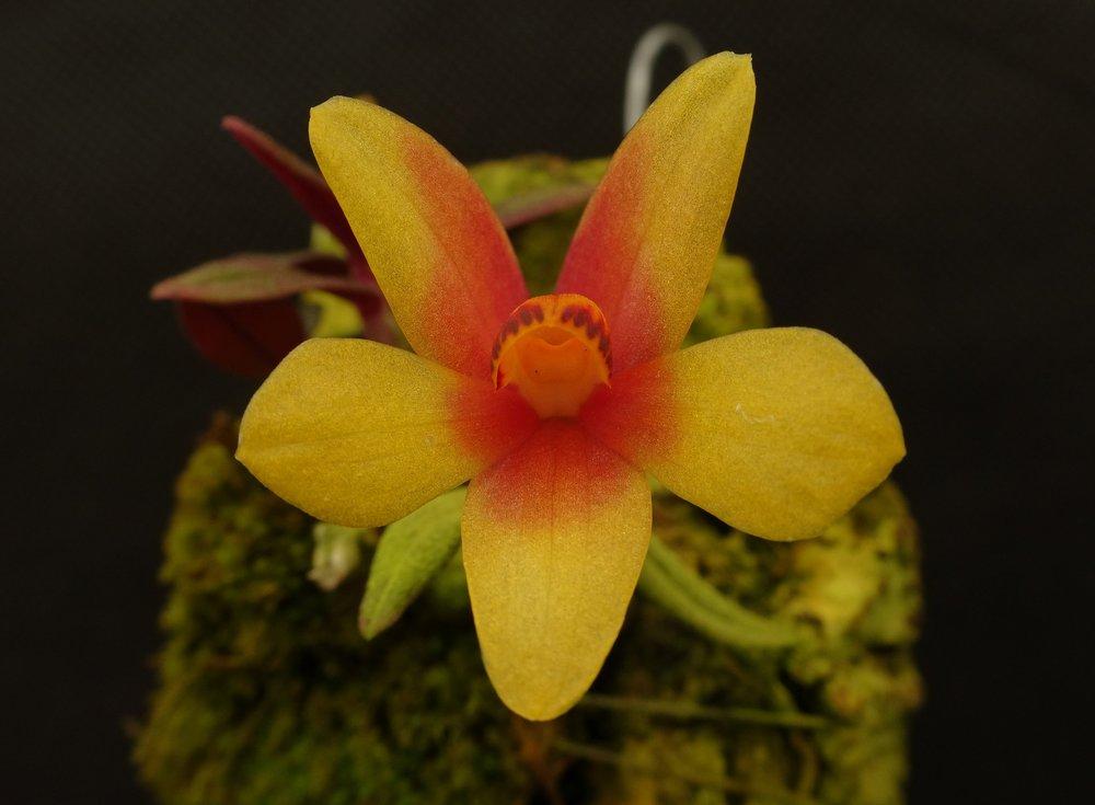 Dendrobium  Aussie Hi-Lo 'Sam's Choice' (GGO)