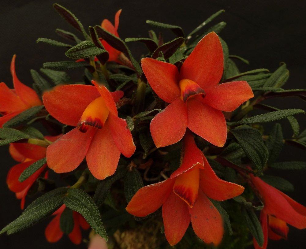 Dendrobium cuthbertsonii , orange form